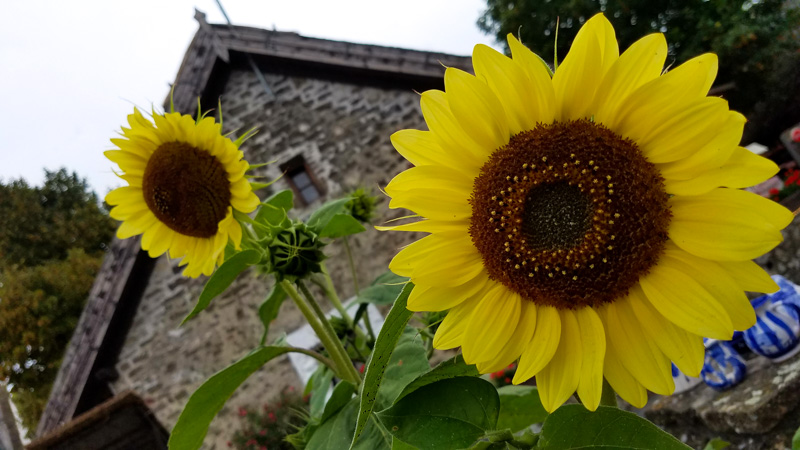 Sunflowers in Tihany