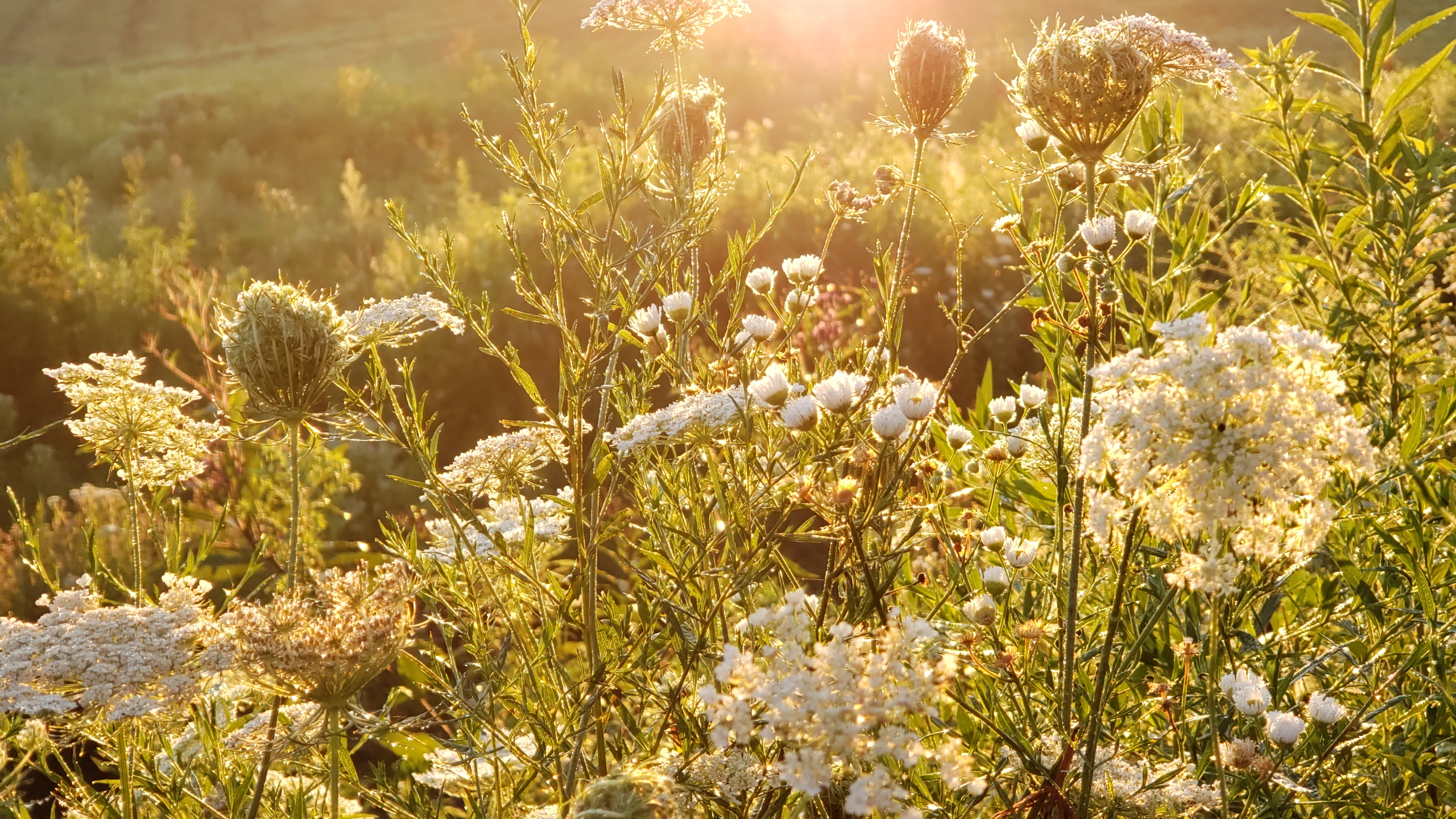 Queen Anne's lace in a bright morning sun